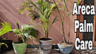 Areca palm | areca palm care guide and tips for healthy growth