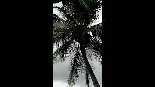 Anak Gorilla Kawin Dengan Manusia