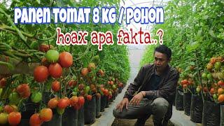 Cara Menanam Tomat Hidroponik Di Dalam Polybag