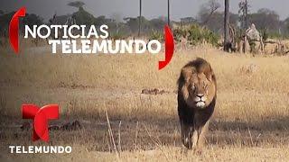 James Palmer de Minnesota admite que mató al león Cecil en Zimbabue | Noticias | Noticias Telemundo
