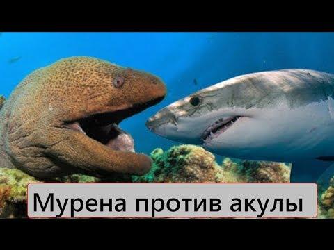 Версус! Мурена против акулы! Мурена против осьминога!