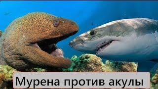 Download Версус! Мурена против акулы! Мурена против осьминога! Mp3 and Videos