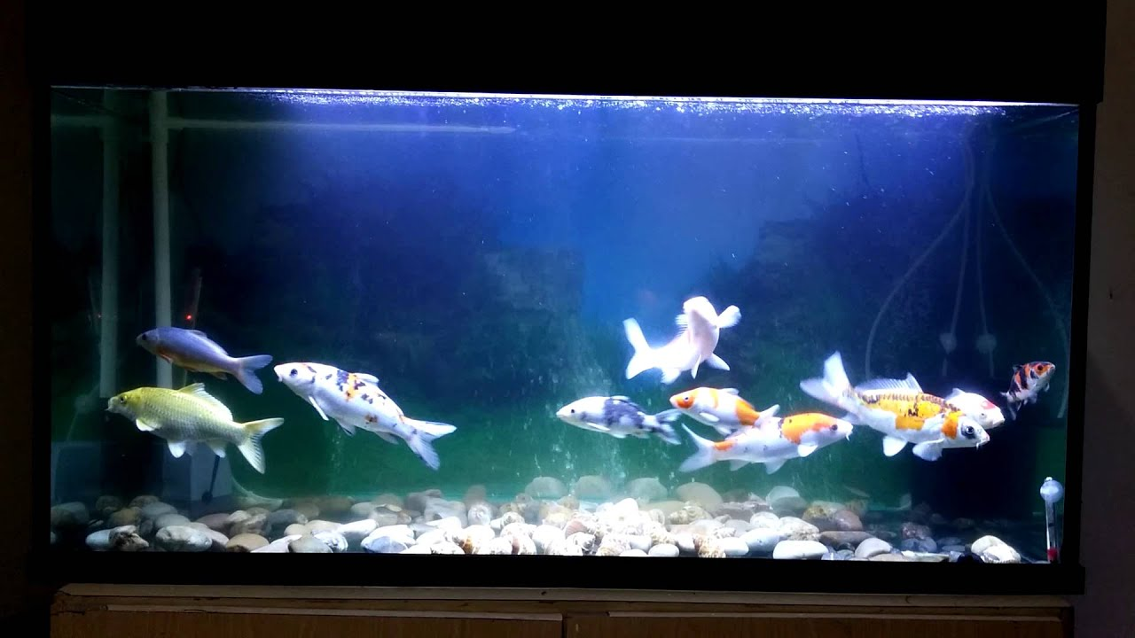Koi fish fish tank and filtration youtube for Koi fish filter