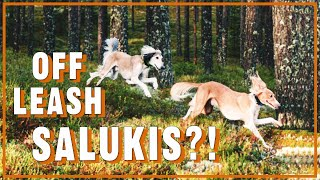 Can salukis be offleash?