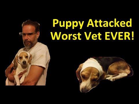 Puppy Attacked Dog Fight ~ Worst Vet EVER ~ Scam & Nightmare