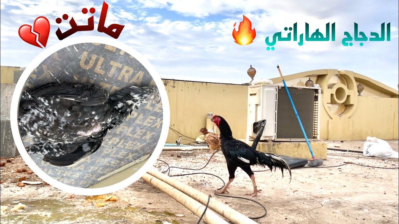 الدجاج الباكستاني تسمم ومات منهم 😓💔