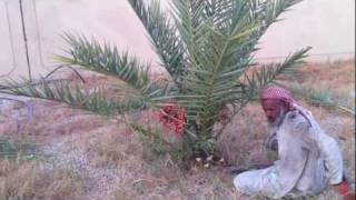 Cropping the Small Dates Tree