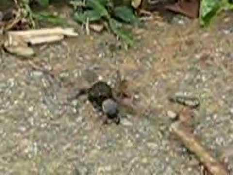 Dung Beetle in Kerala