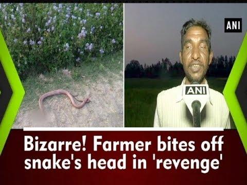 Bizarre! Farmer bites off snake's head in 'revenge' - Uttar Pradesh News