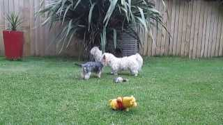 Cute Puppy Dog Ballet - Maltese And Yorkie Doe-c-doe