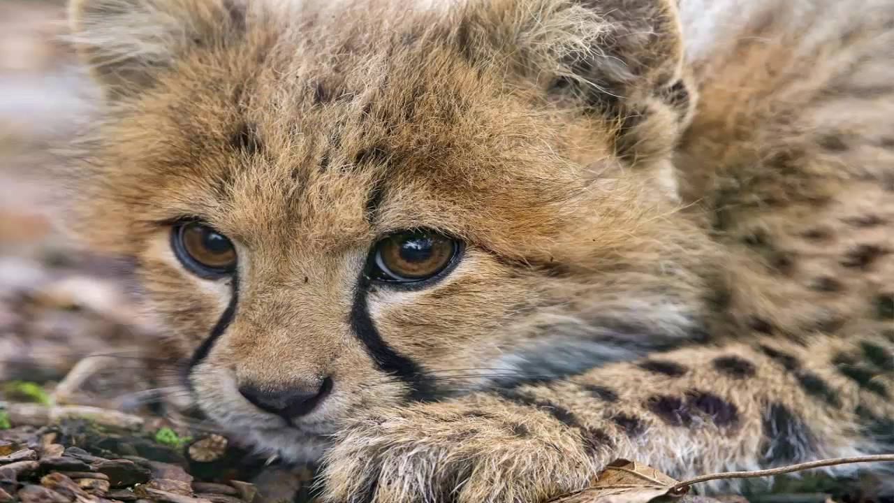 Pictures Of Baby Cheetahs