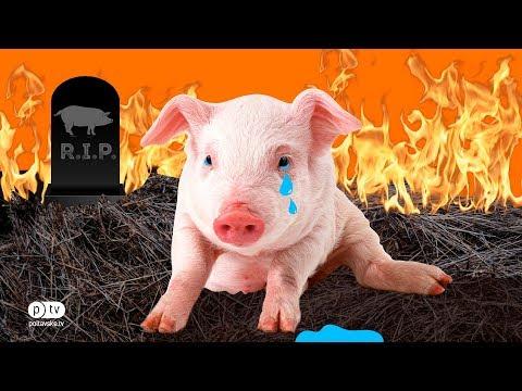 Полтавське ТБ: Понад 1000 свиней знищать під Полтавою через АЧС