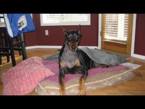 Victor The Doberman 2011 Struck With Wobbler S Youtube