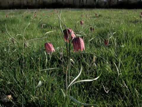 Bocage du Véron et Fritillaires Pintades au printemps