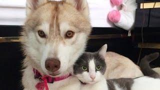 ハスキー犬に育てられた猫、 自分を完全に犬だと思い込んだ姿がかわいすぎる  子猫を救った優しいハスキー犬の話 thumbnail