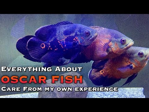 Everything About Oscar Fish-CARE & Maintenance   Tamil  