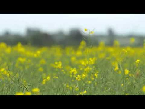 High 5 OSR: Timing critical for oilseed rape desiccation