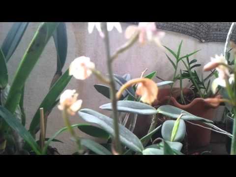 Minhas Orquídeas - Oeceoclades Maculata