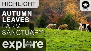 Autumn Leaves in Upstate New York - Farm Sanctuary Live Cam Highlight 10/24/17