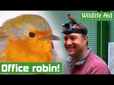 Wild goose chase with office robins!
