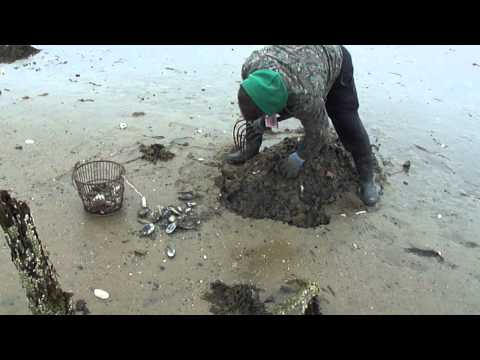 Digging Steamers In Duxbury