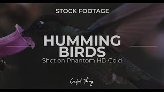 Hummingbird Stock - STOCK FOOTAGE (Phantom HD Gold)