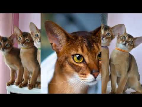 British CAT BREEDS   TOP 10 BEAUTIFUL CAT BREEDS