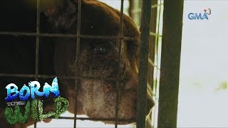 Born to Be Wild: A Pit Bull with massive lumps