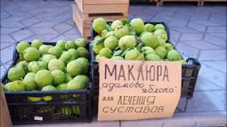Маклюра/Адамово яблоко/Китайский апельсин
