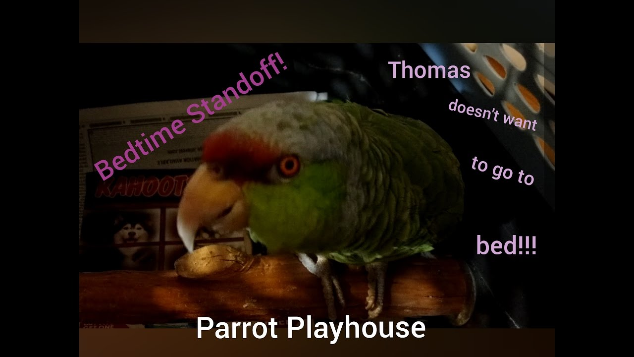 Parrot Meltdown Before Bed