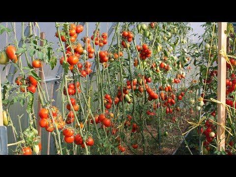 видео: Целая теплица томатов! Как вырастить такой урожай? Почвоулучшитель - это успех!