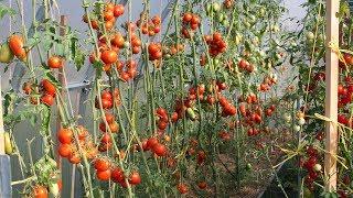 Целая теплица томатов! Как вырастить такой урожай? Почвоулучшитель - это успех!