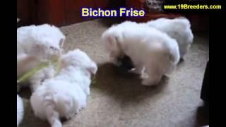 Bichon Fise, Welpen, Für, Verkauf, In, Nordrhein Westfalen, Deutschland, Bayern, Hessen