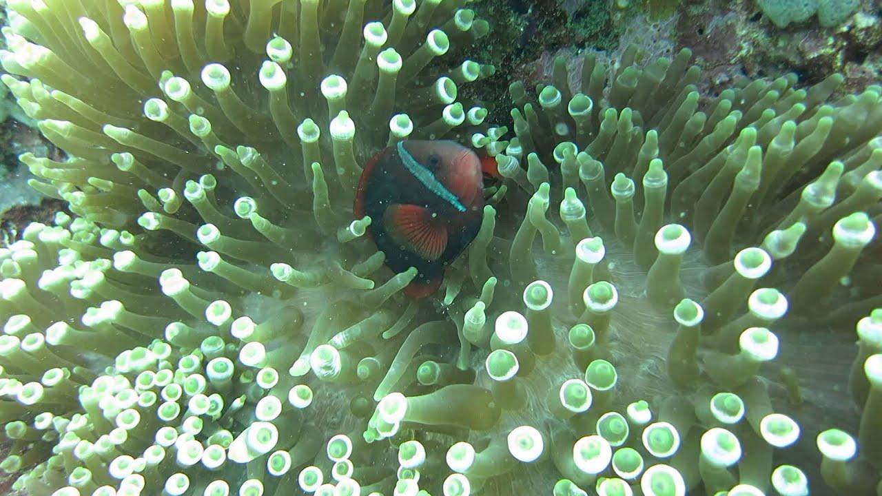 Tomato clownfish anemone - photo#27