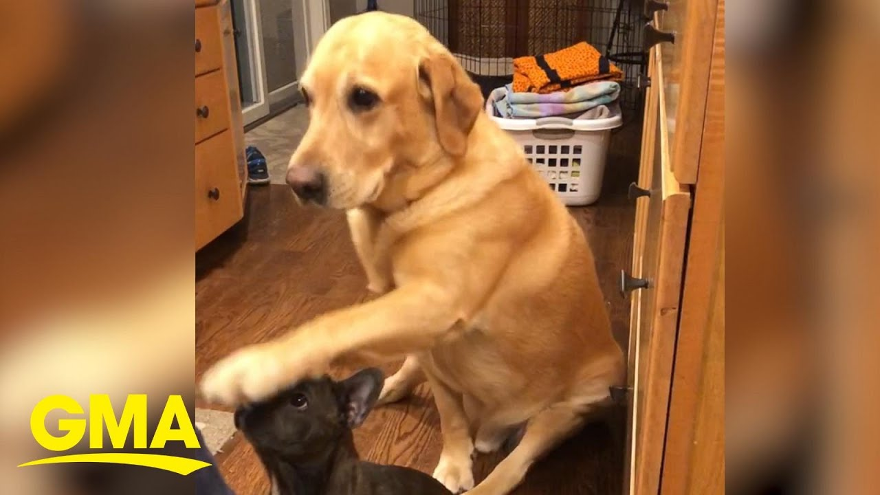 Hilarious Yellow Lab Is So Eager To Get Treats During His Sister S Sit Lessons L Gma Digital Youtube