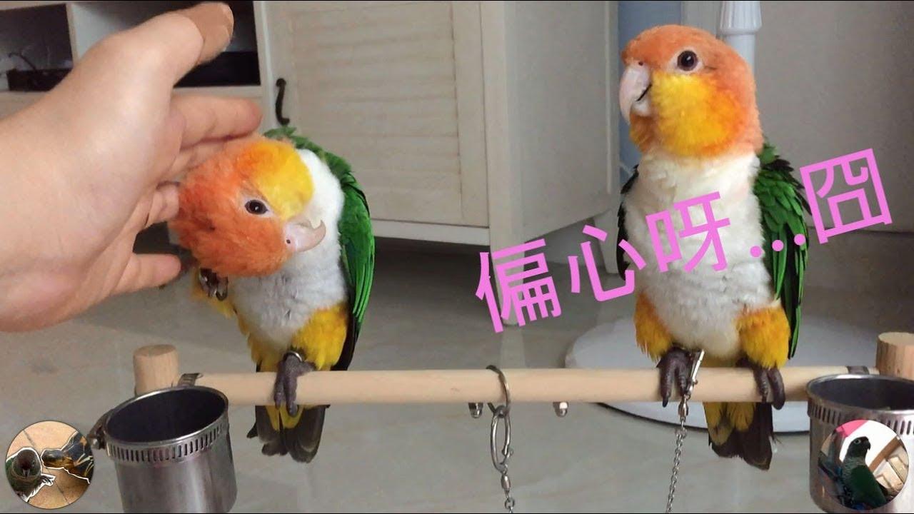 小福與朋友 - 看看朋友兩公婆如何吃醋 - 凱克鸚鵡 - YouTube