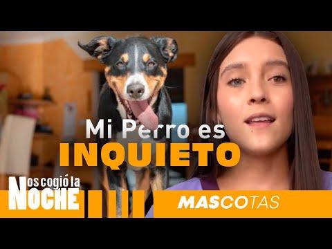 Mi Perro Es Muy Inquieto, ¿Qué hacer? - Lauvet