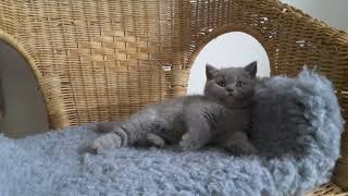 British Shorthair. The weather is very warm and Jamila is lazy*Calmcat cattery British Shorthair