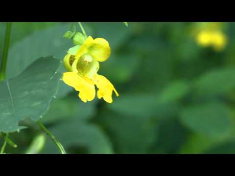 Bumblebee visits pale jewelweed