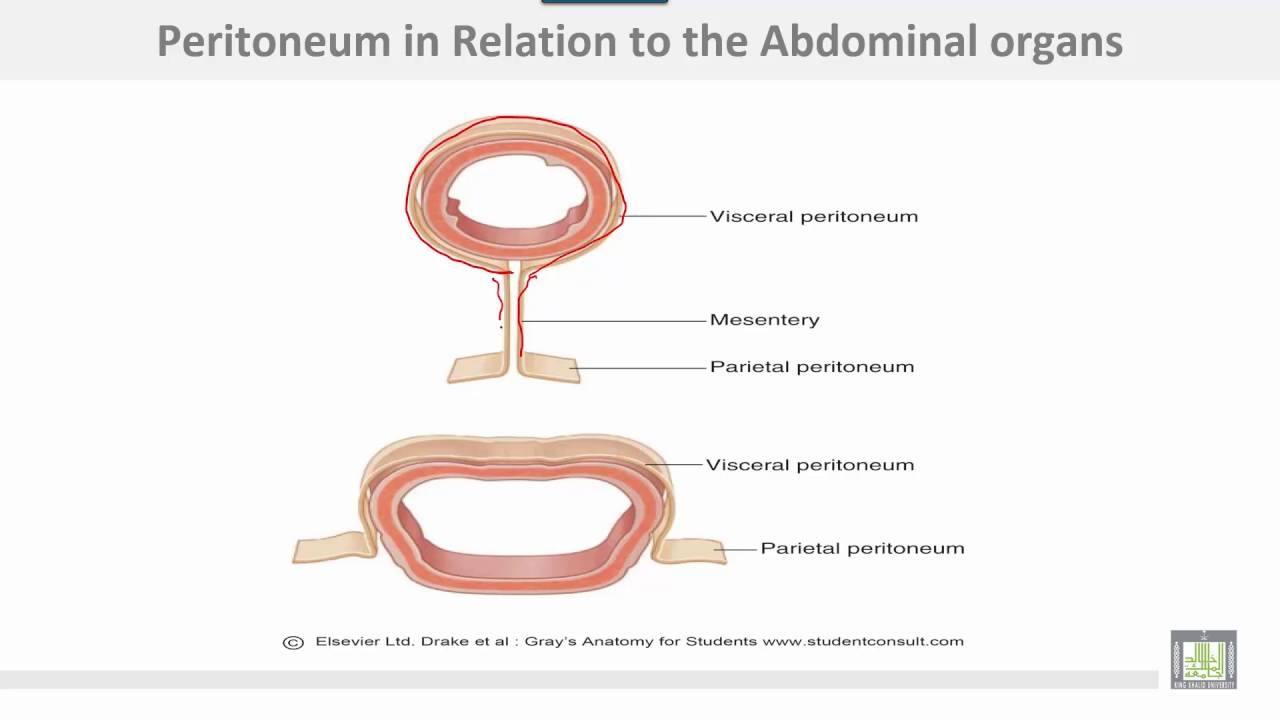 hight resolution of anatomy 1 c2 l5 peritoneal cavity