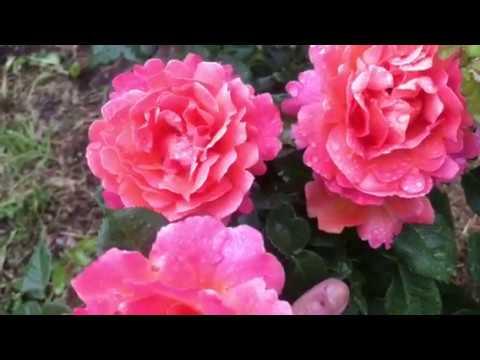 Прекрасная мандариновая роза. Питомник Роз ЕЛЕНЫ ИВАЩЕНКО