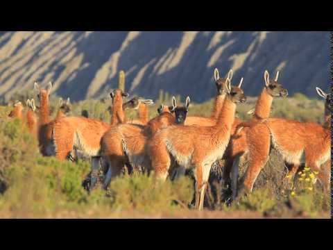 MVI 4801 Lama guanicoe