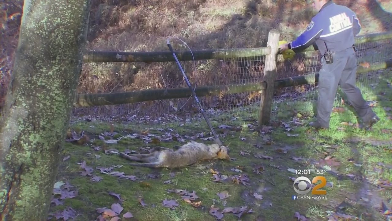 Police: Coyote that was killed had rabies
