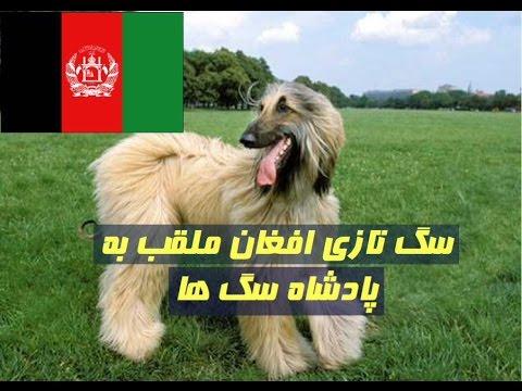 سگ تازي افغاني