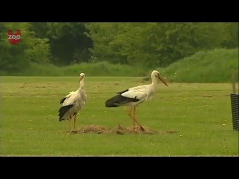 Storks Try To Hatch Golf Balls!
