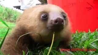 Super cute sloth squeak!