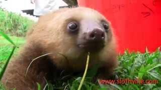 Super cute sloth squeak!
