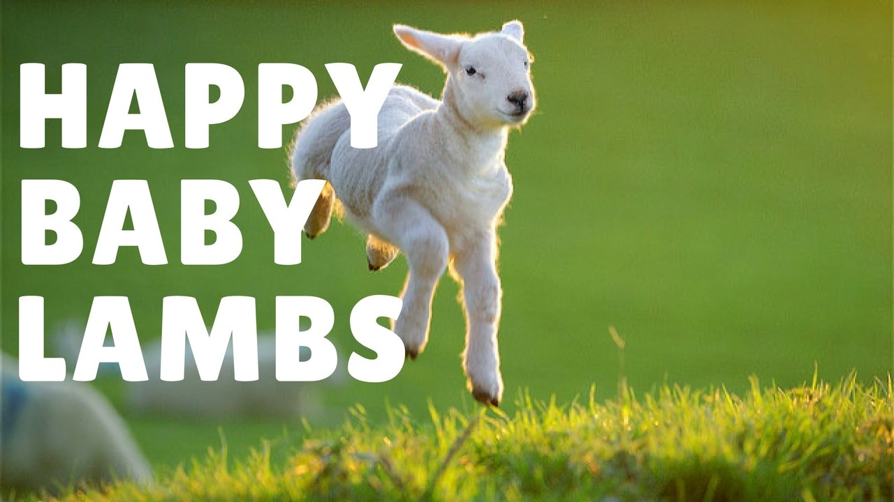 Happy baby lambs - YouTube for Happy Baby Lamb  53kxo