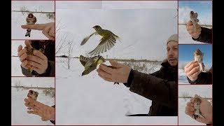 Ловля певчих птиц. Много щеглов, реполовы, зеленушки, чечетка.