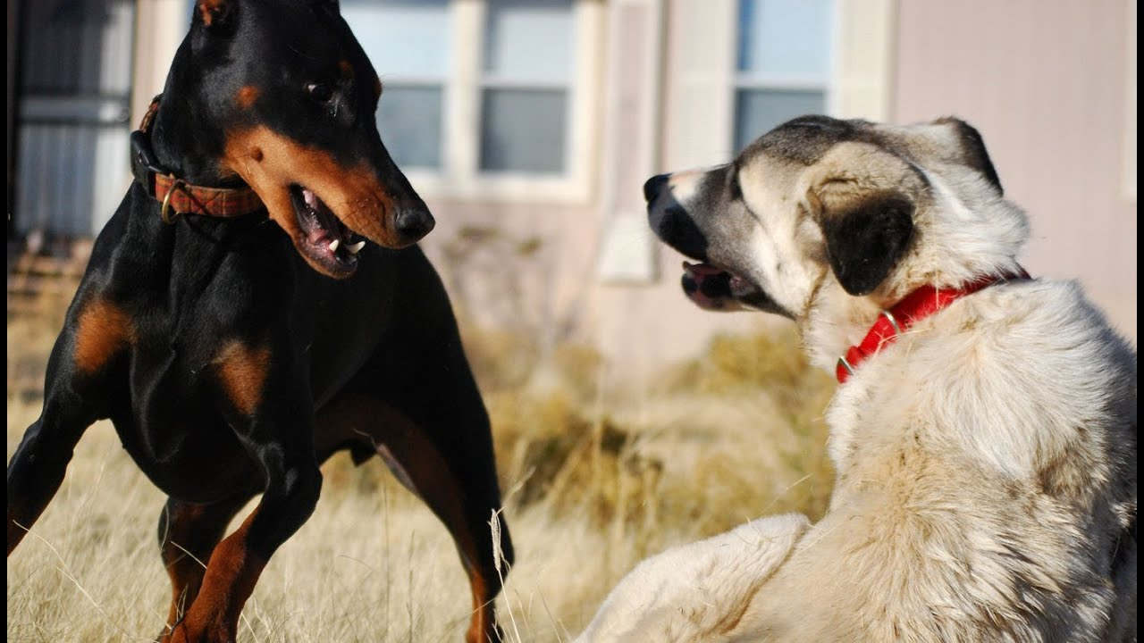 Doberman vs. Kangal - YouTube